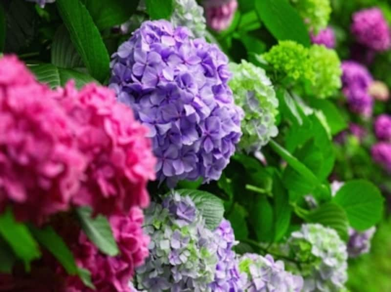 紫陽花の豆知識…日本の土壌だと青紫が主流。改良品種のあじさいは色が変わらないものが多いです