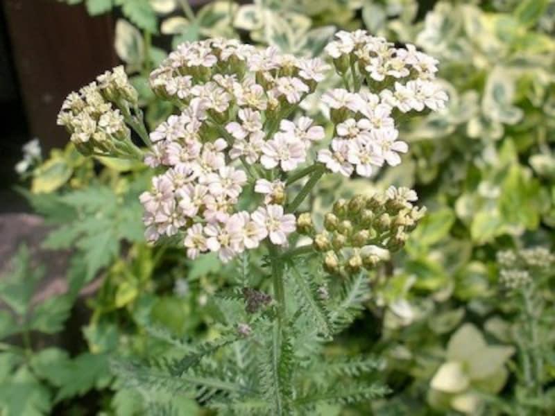 アキレアの花