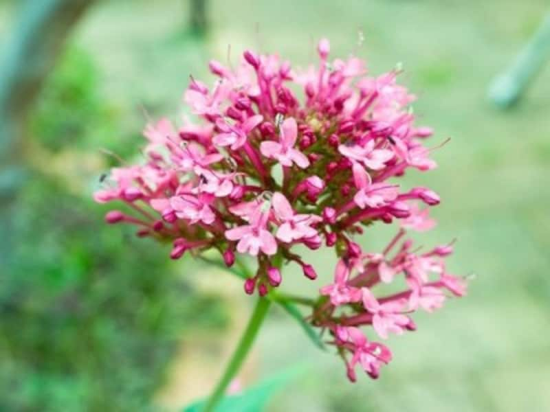 バレリアンの花