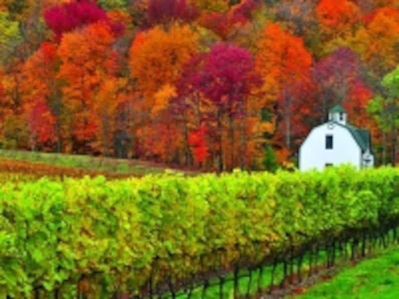 美しい紅葉の林とブドウ畑。ナイアガラはメープル街道のルート上なので、秋の美しさも格別(C)TourismOntario