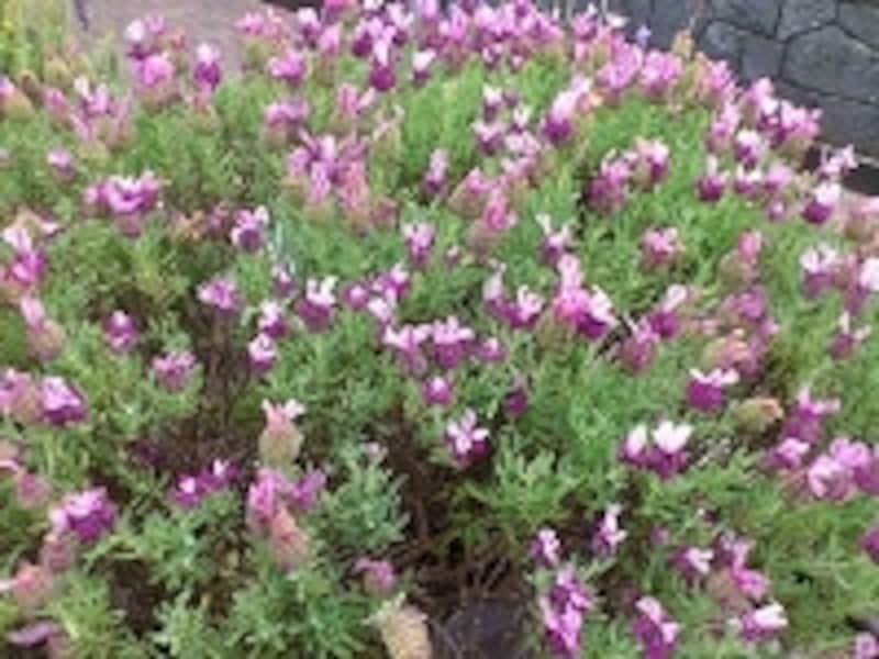 フレンチ・ラベンダーにもいろんな栽培種があるようですが、花を見ればイングリッシュ系とは明らかに違う外観をしています