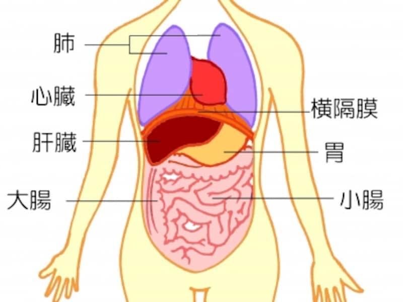横隔膜と周辺の内臓