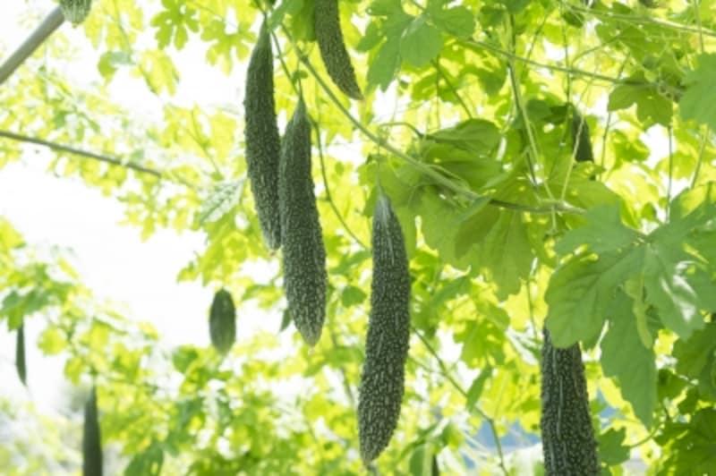 暑気払いに効く食べ物……瓜