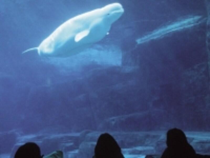 ベルーガ(シロイルカ)はバンクーバー水族館の人気者(C)VancouverAquarium/RossdenOtter