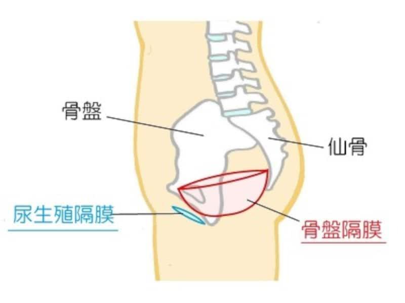 骨盤底筋は二重構造