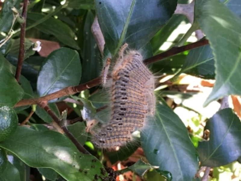 チャドクガの幼虫・毛虫