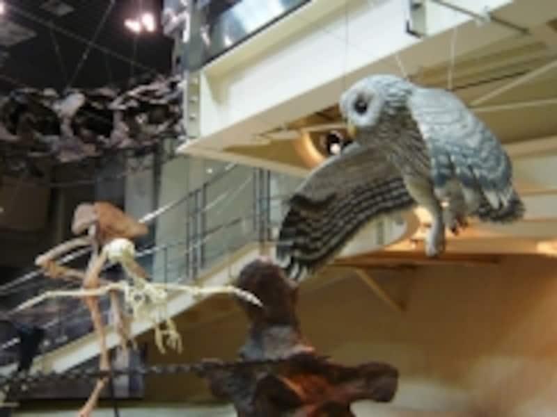 フクロウの骨格