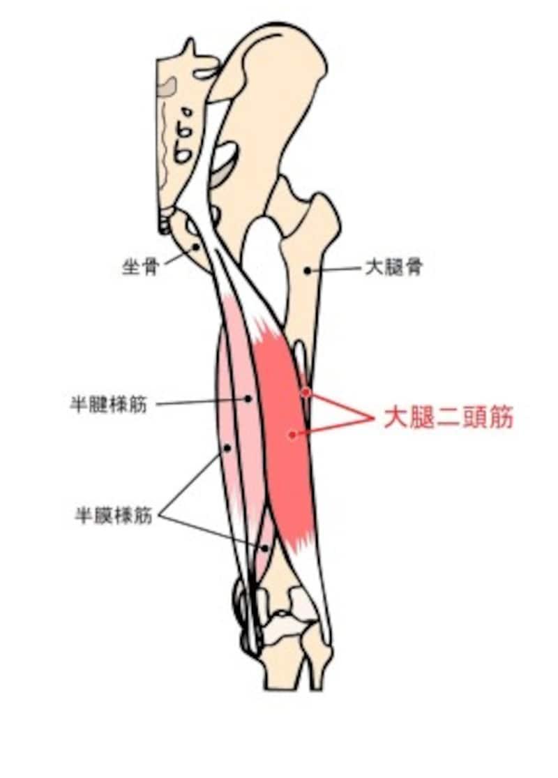 もも裏の筋肉を、触って確認しましょう。