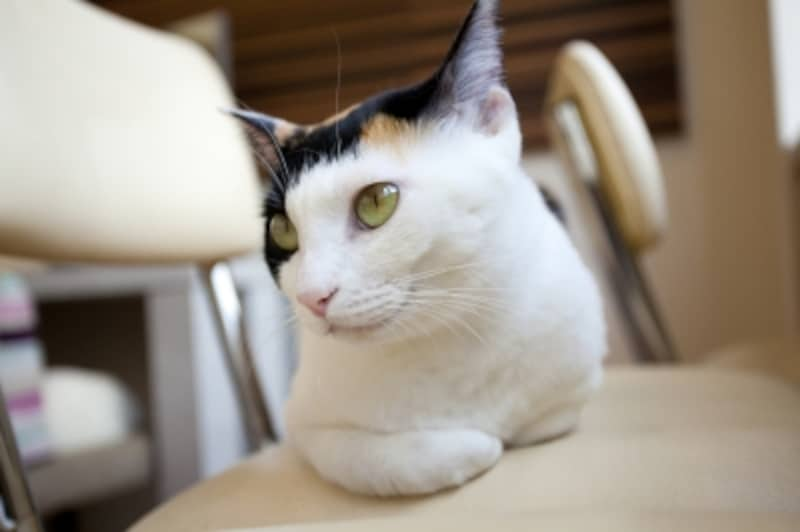 美景でツンデレが三毛猫の基本