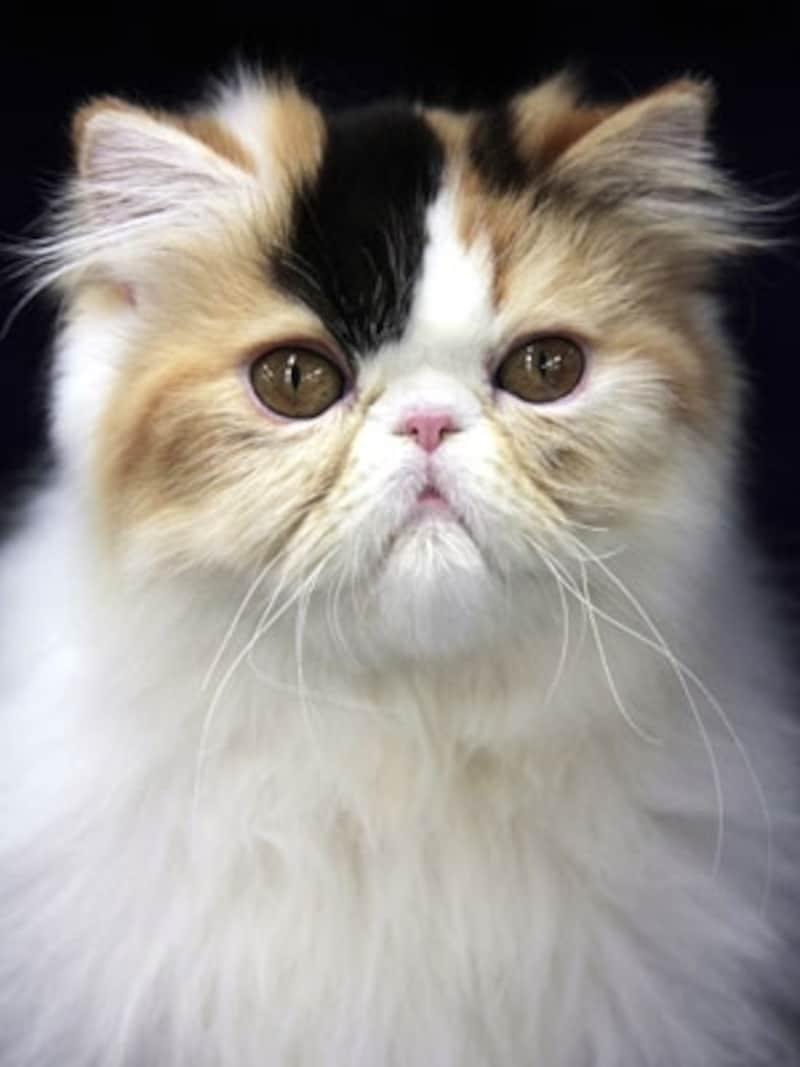 長毛の三毛