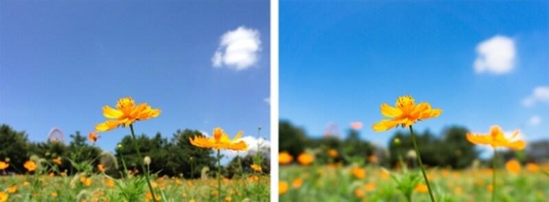 左がスマホ(iPhone)で撮影した写真。花がくっきりして背景も多少ボケてはいますが、右のミラーレス一眼で撮影した写真は、より中央の花がくっきりと際立って見えます。