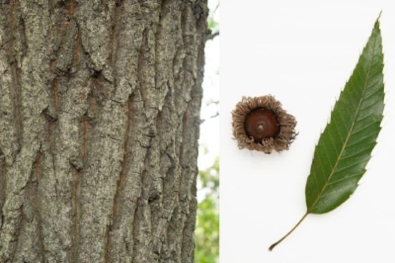 クヌギの幹、葉、ドングリ