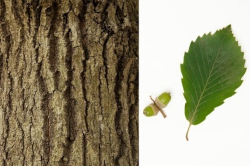 コナラの幹、葉、ドングリ