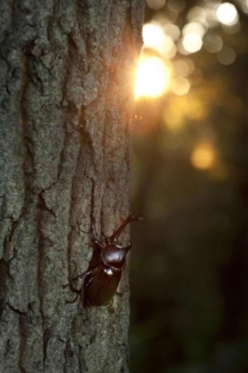 カブトムシは日が沈むころから活動をはじめる