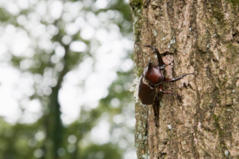 高いところにいるカブトムシは虫とり網で捕まえよう