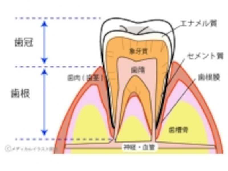 歯の構造イメージ