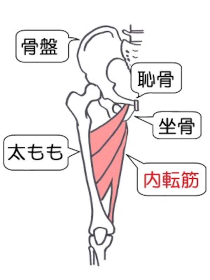 内転筋は内ももにある長い筋肉