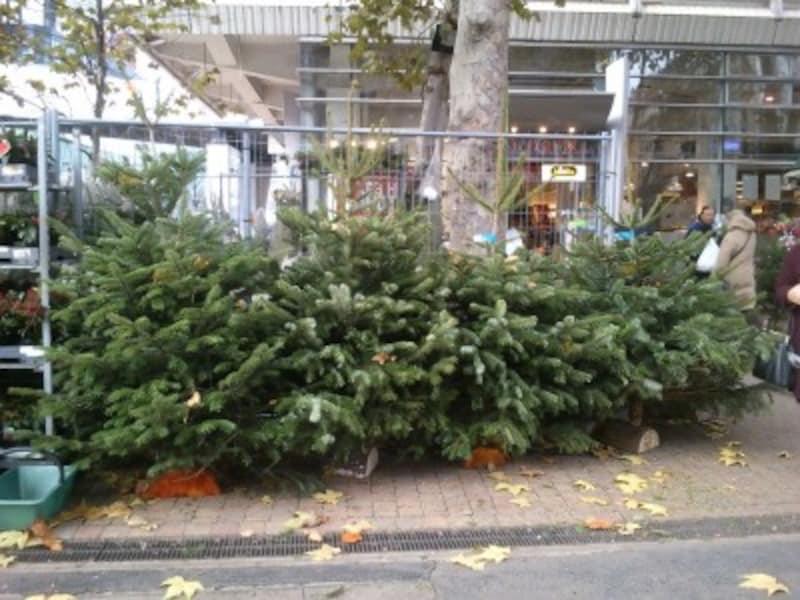 12月になると、花屋さんで一斉に売り出されるツリー