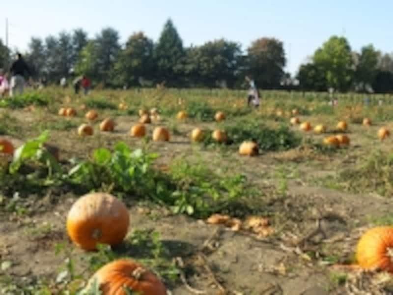 広~い畑に、かぼちゃがごろごろ。畑はがぬかるんでいることが多いので、足元には用心が必要