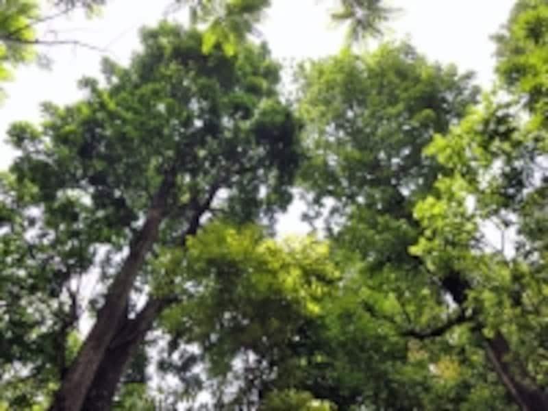 成長したマホガニーの木々