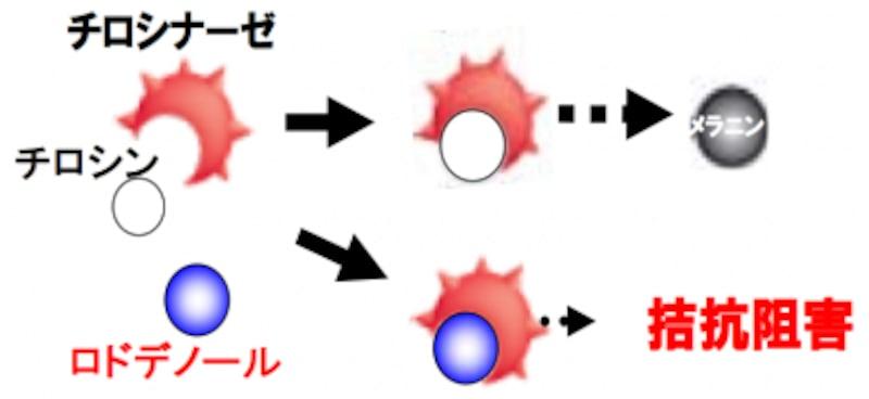 ロドデノールによるメラニン抑制のメカニズム