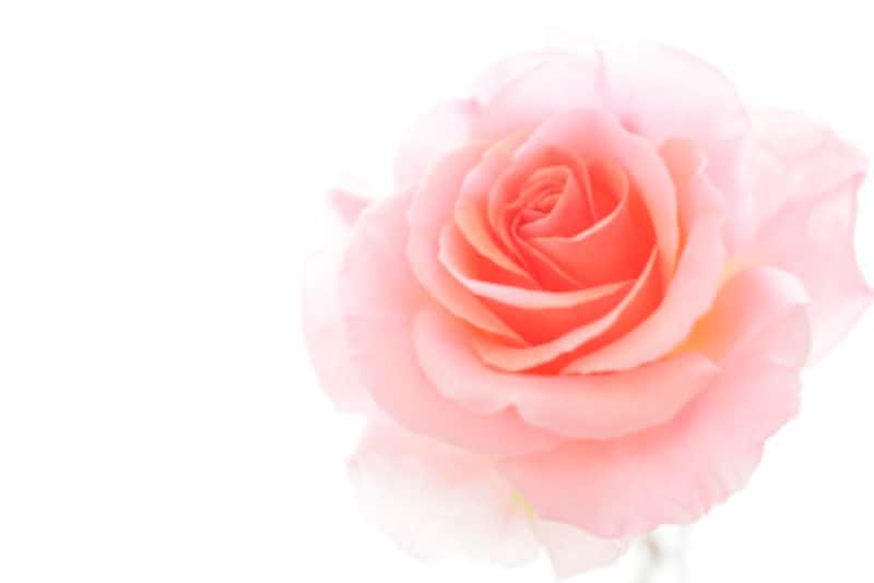 ローズオイルは美肌の象徴ともいえるアロマです
