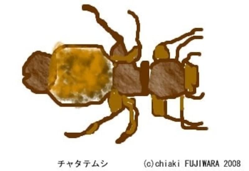 チャタテムシ。体長は約1mm(小さい!)