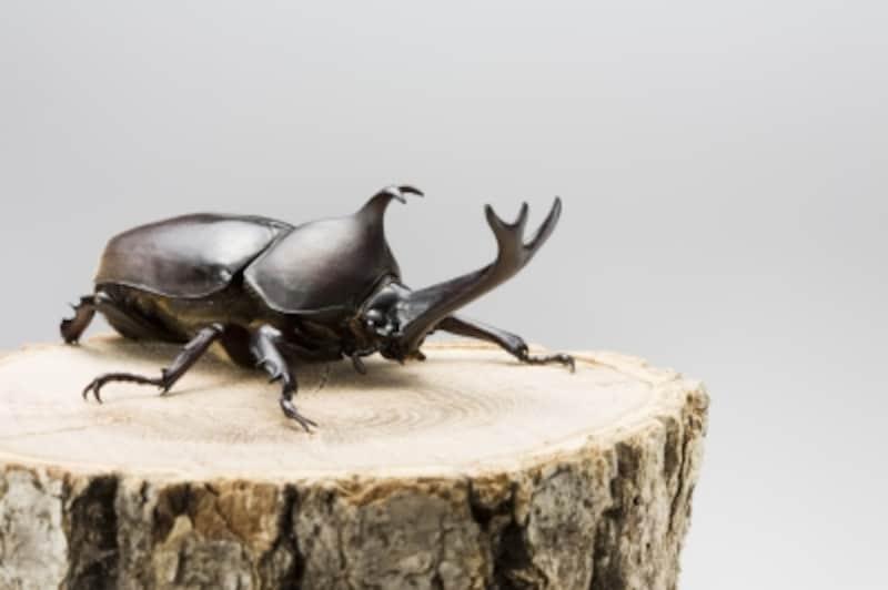 カブトムシを家で飼う!成虫飼育のコツと飼育ケースセットの作り方