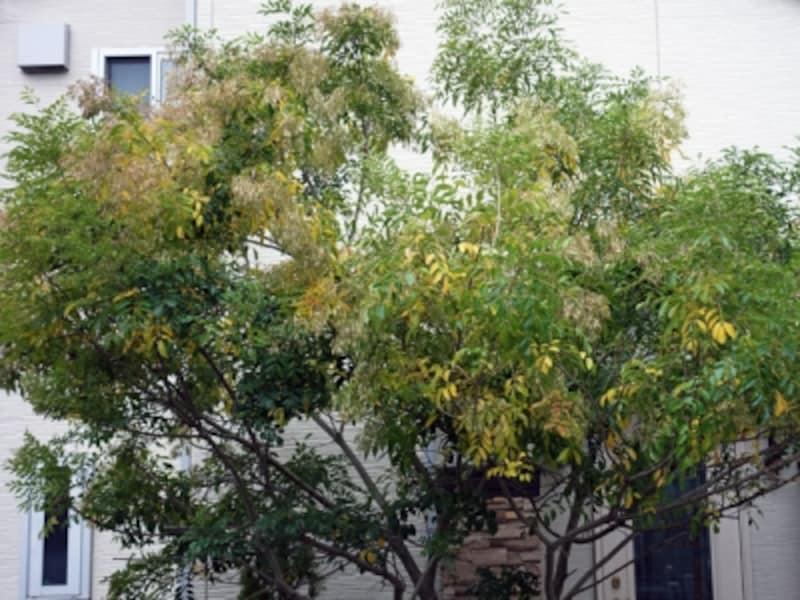 敷地内のシンボルツリー