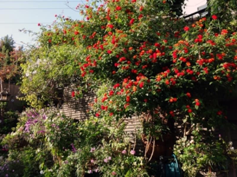 家のまわりの育ちすぎた花
