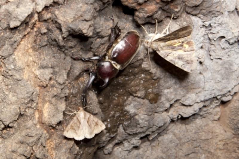 自然界ではカブトムシの寿命は2~3ヶ月ほど。夏の終わりには死んでしまう。