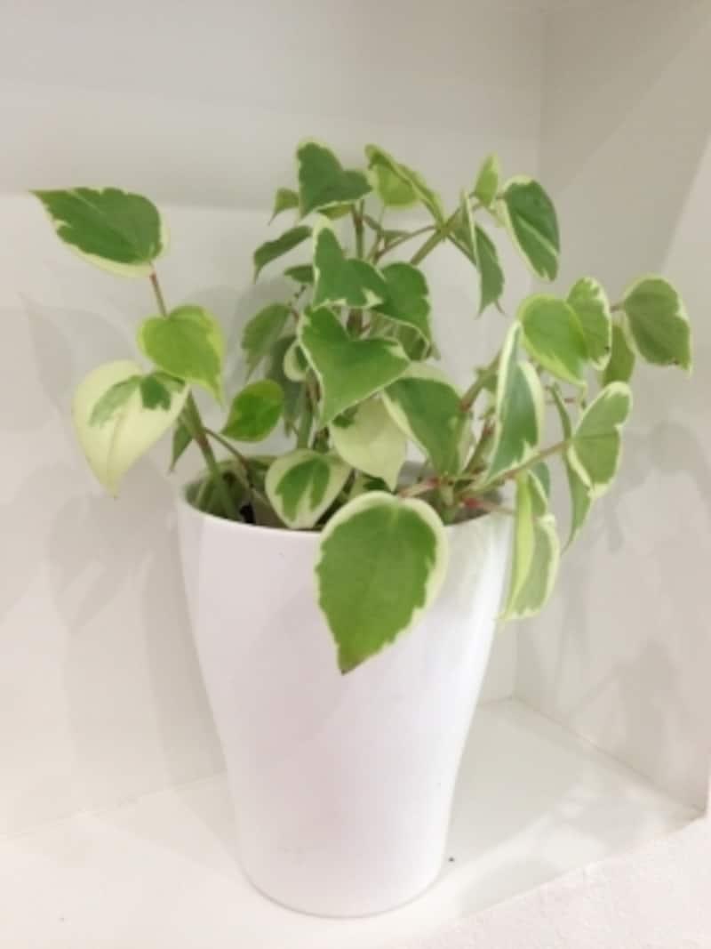 バスルームを観葉植物を