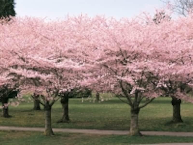 バンクーバーでは3月に桜が咲くが、観光シーズンには冬と変わらないほどの寒さ(C)TourismBC