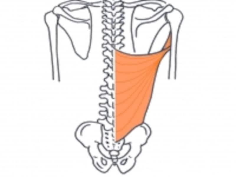 背中の大きな筋肉「広背筋」