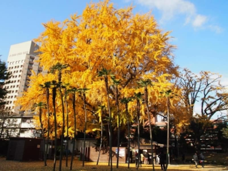 江戸時代の最初からここにあったという樹齢400年のイチョウ