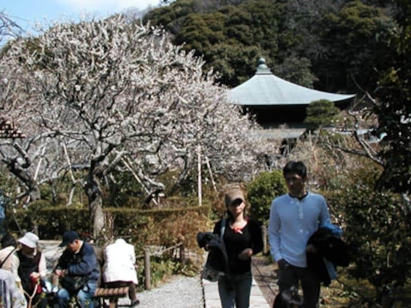 瑞泉寺、本堂前の梅