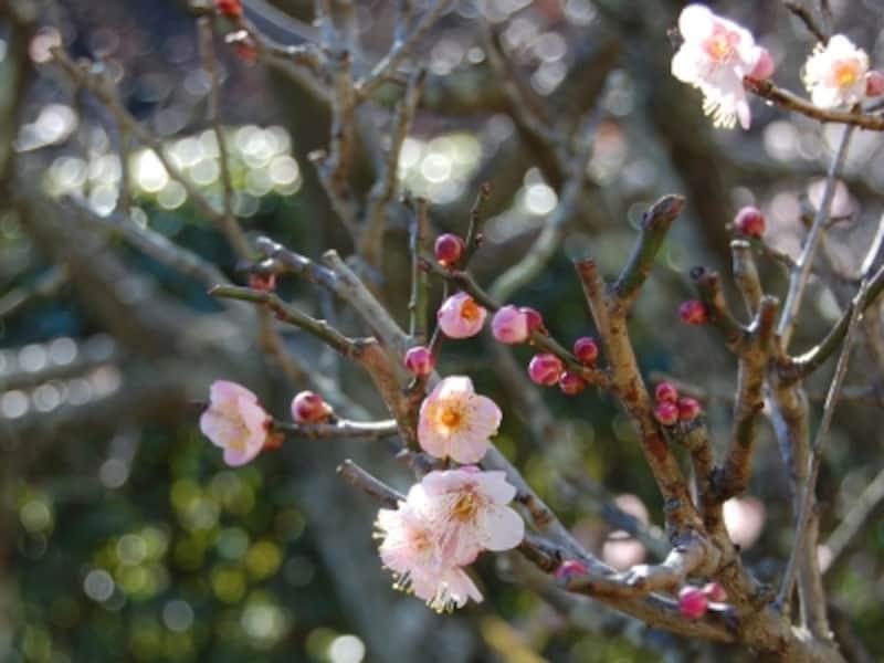 梅には「春告草」や「風待草」の和名もあり、春の到来を告げる