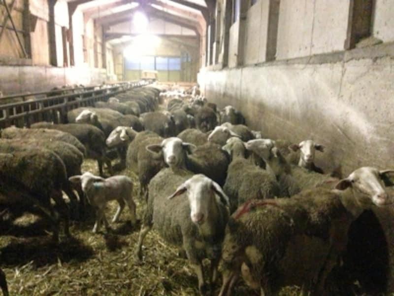 ラコーヌ種の羊。ロックフォールは主にこの羊のミルクから作られる