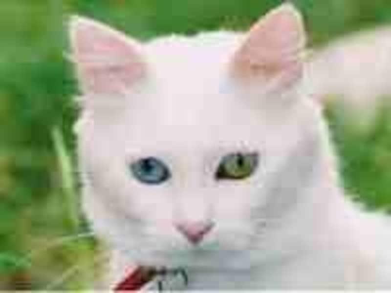 左右の眼の色が異なるヴァン猫