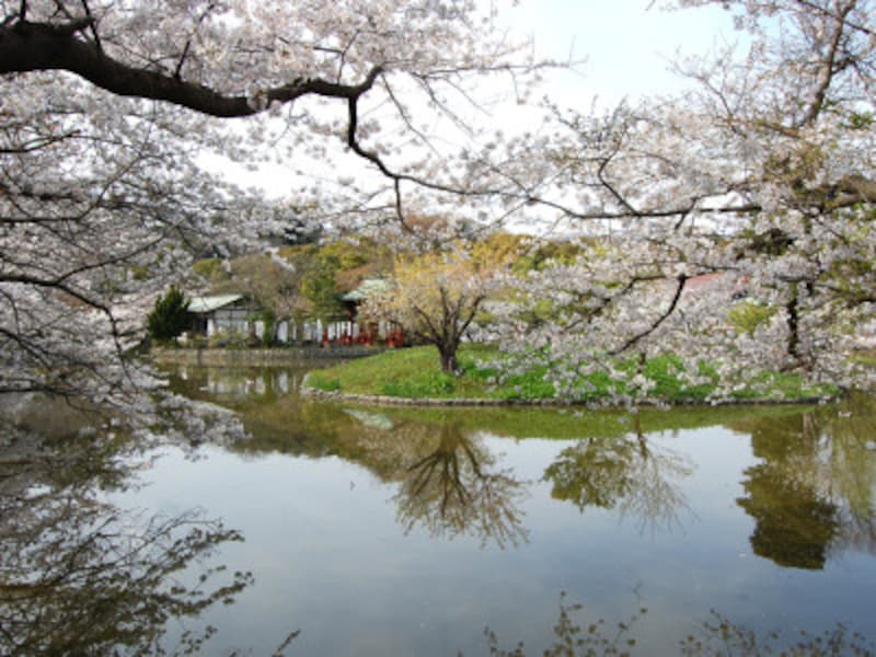 鶴岡八幡宮の源氏池の桜