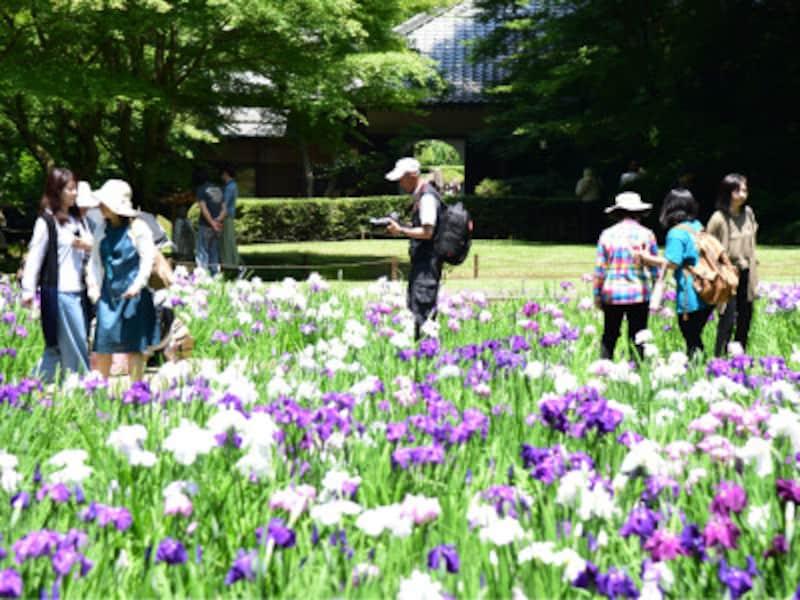 明月院「本堂後庭園」に咲くハナショウブ