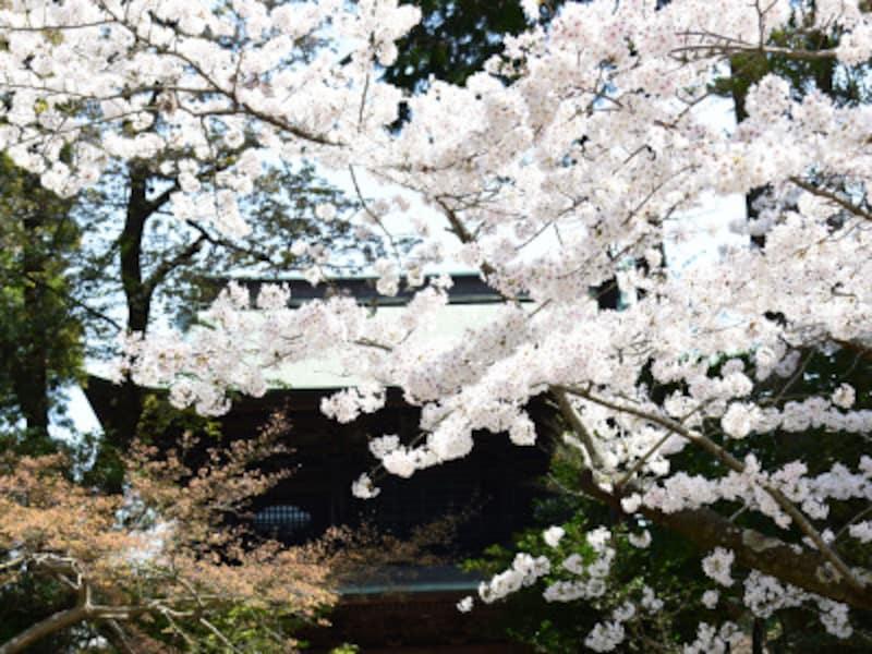 円覚寺三門(山門)と桜