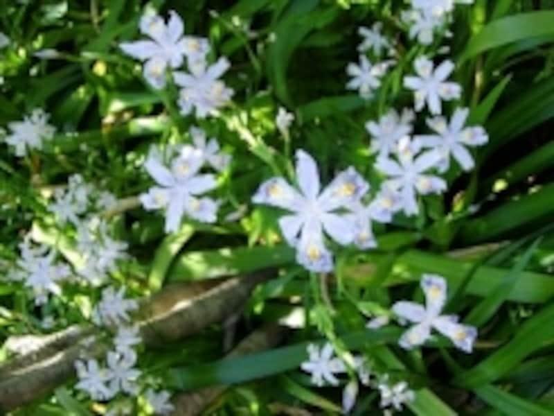 大巧寺境内に咲くシャガの花