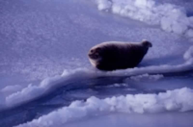 氷上のアザラシ