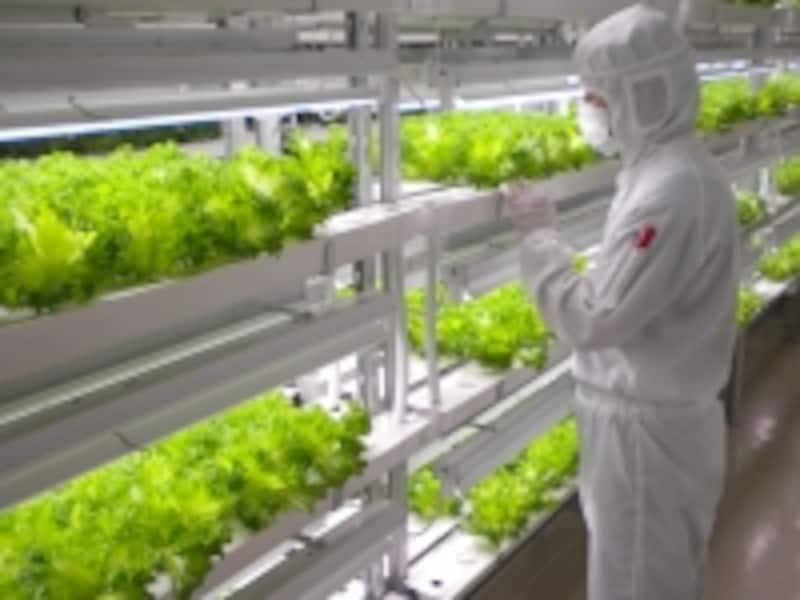 低カリウムレタスの栽培