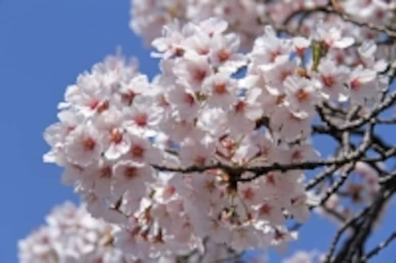碑文谷の桜