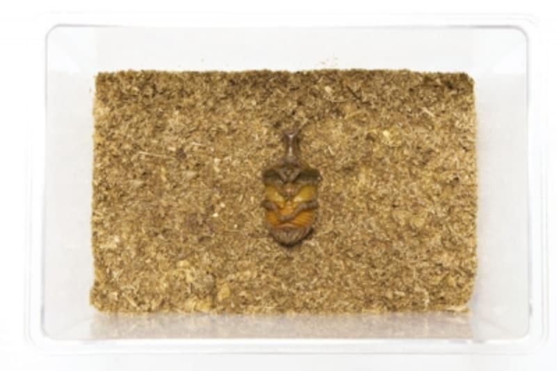 カブトムシの幼虫が発酵マットの上でサナギになっちゃった……