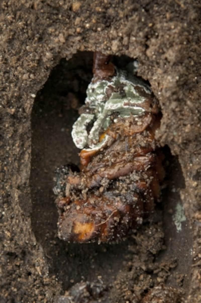 残念ながら、羽化できずに死んでしまったカブトムシのサナギ