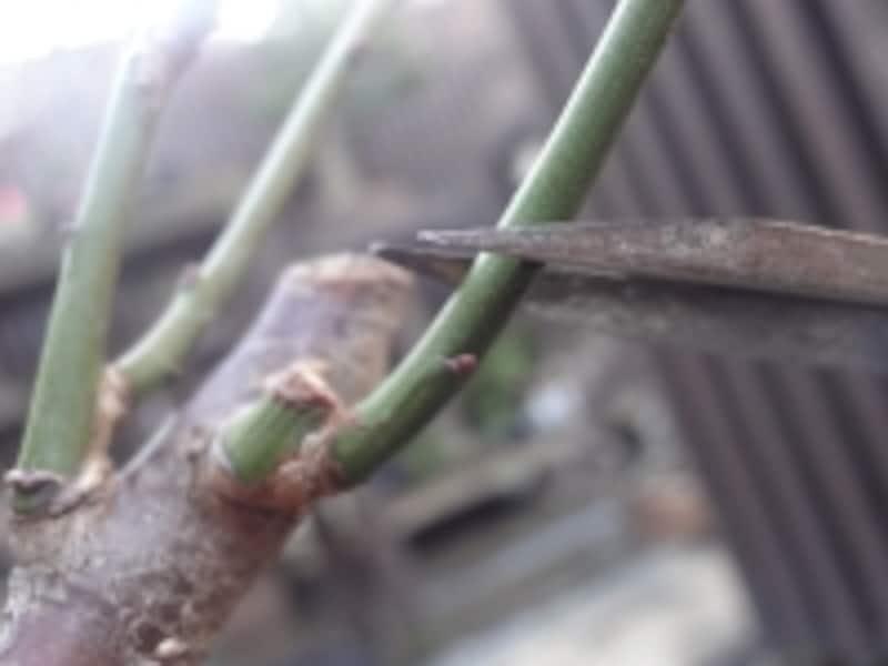 枝元の芽の上で剪定します