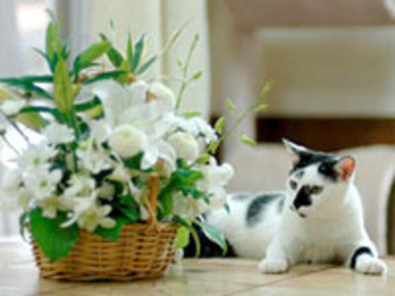ユリは猫にとって非常に危険な植物です!